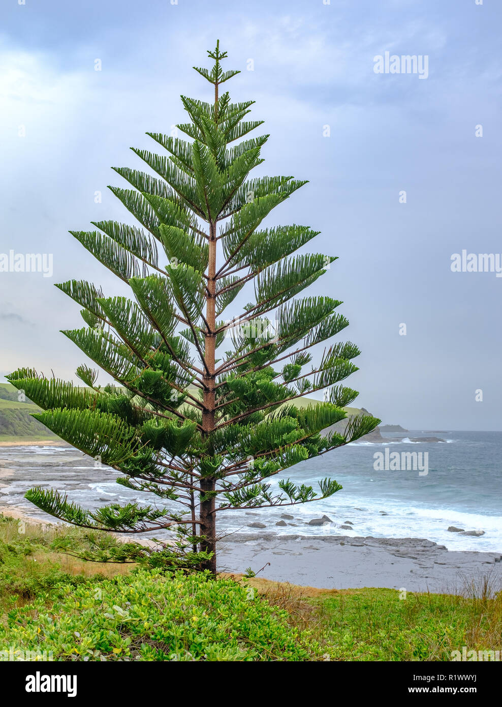 Australian Christmas Tree Pine.Norfolk Island Pine Araucaria Heterophylla Australian