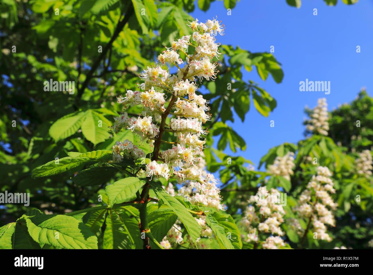 Horse chestnut flowers in Regents Park in springtime in London, UK - Stock Image