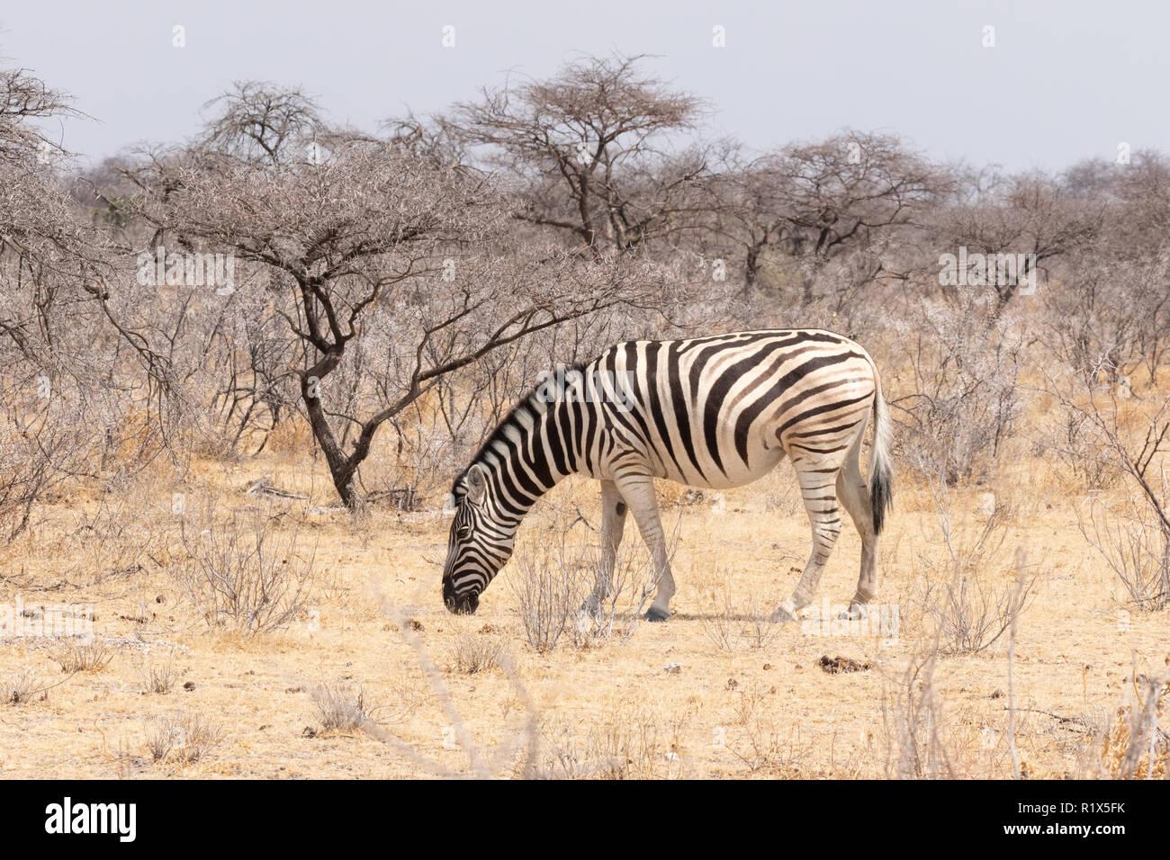 Plains Zebra Equus Quagga, example of namibian wildlife, One adult side view grazing, Etosha National Park, Namibia Africa - Stock Image