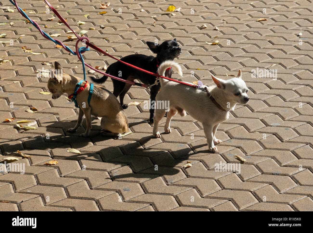 Tan, black and white colored Mexican Chihuahua dogs - Stock Image