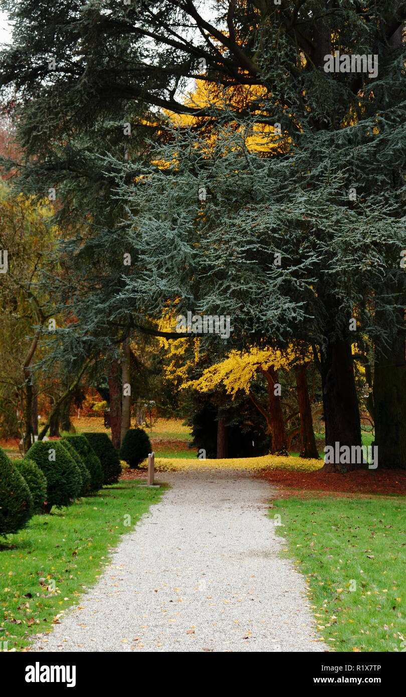 A gravel pathway leading past shrubbery towards a yellow autumn tree. - Stock Image