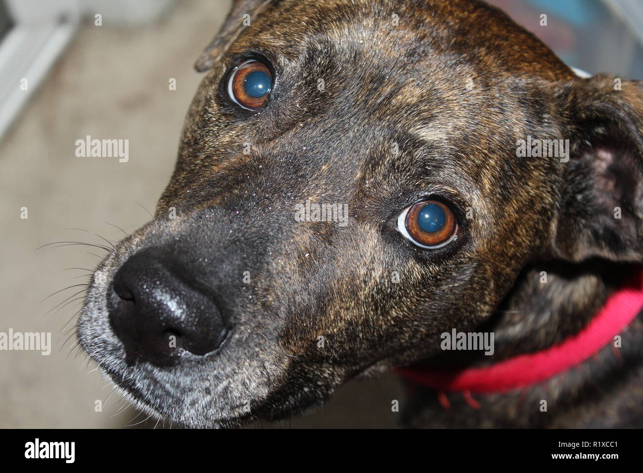 a dog looks at the camera with big round eyes - Stock Image
