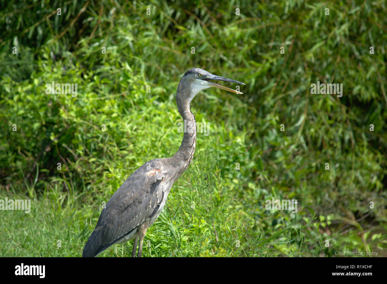 Close up of Great Blue Heron near water edge with beak opened - Stock Image