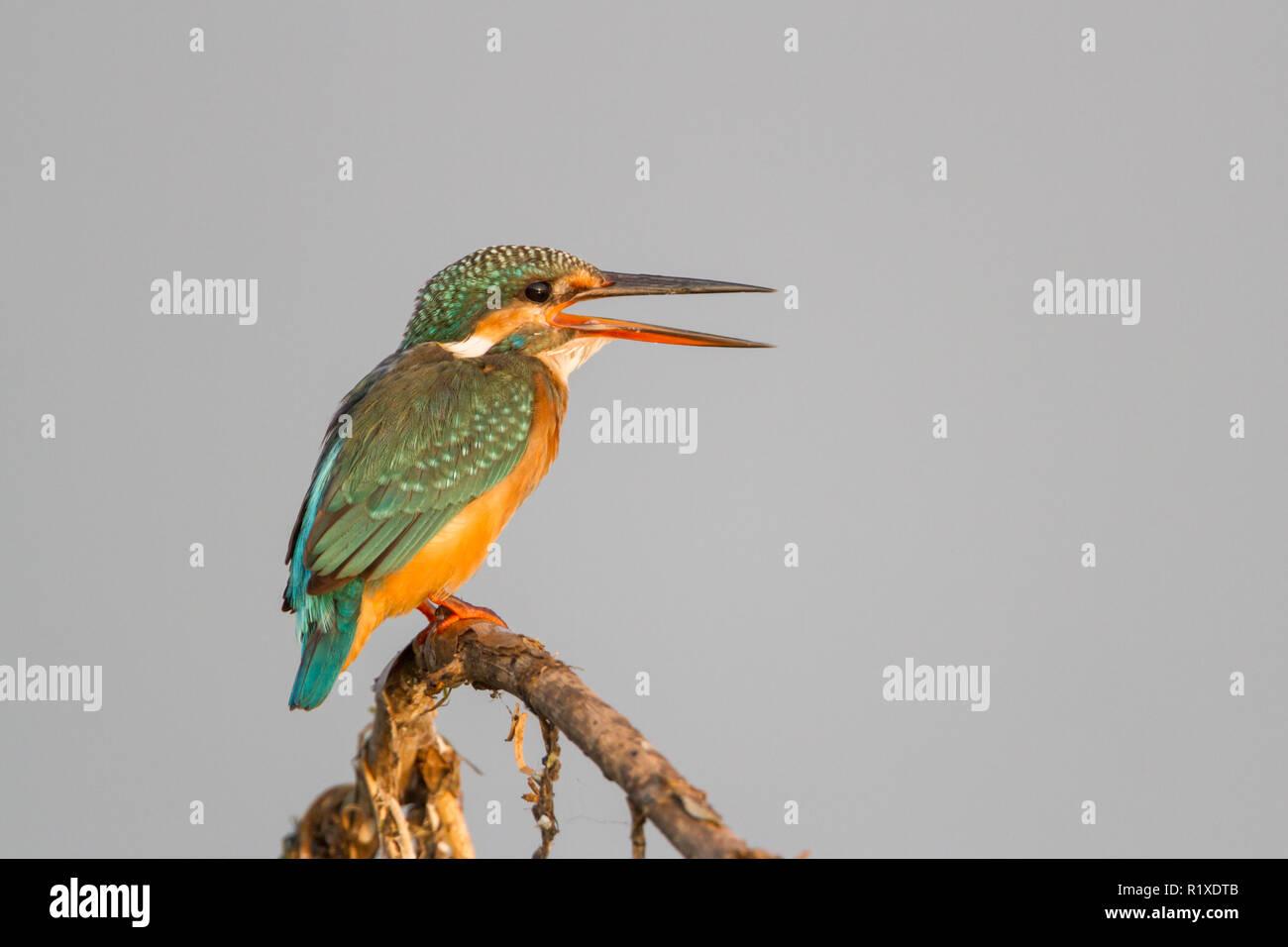The common kingfisher (Alcedo atthis) at Pune, Maharashtra, India. - Stock Image
