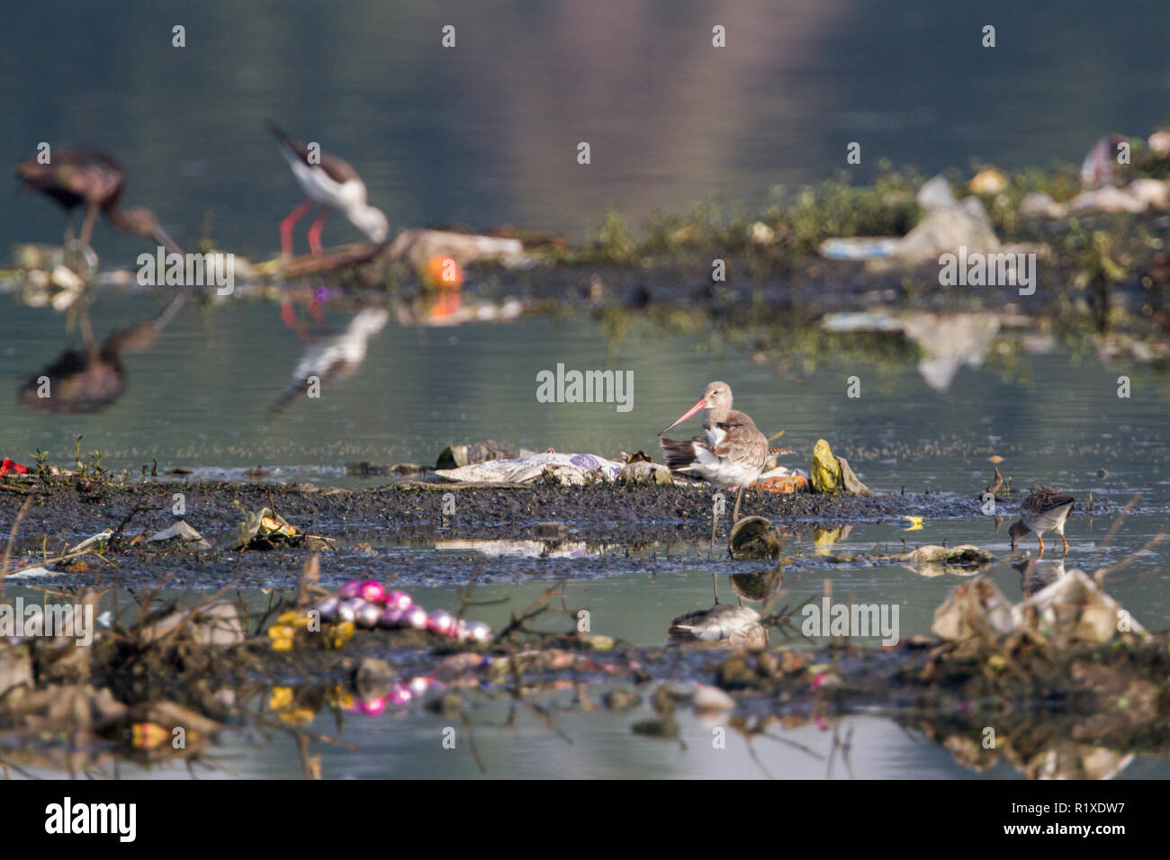 The black-tailed godwit (Limosa limosa) in polluted riverbank near Pune, Maharashtra, India - Stock Image