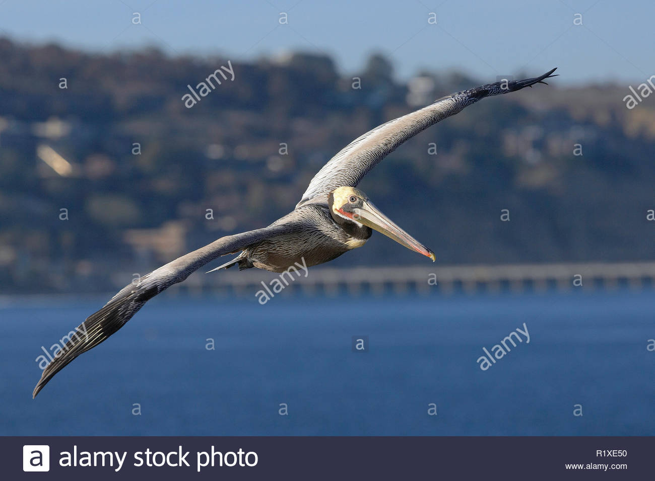 Brown pelican (Pelicanus occidentalis), in flight, La Jolla, California, USA Stock Photo