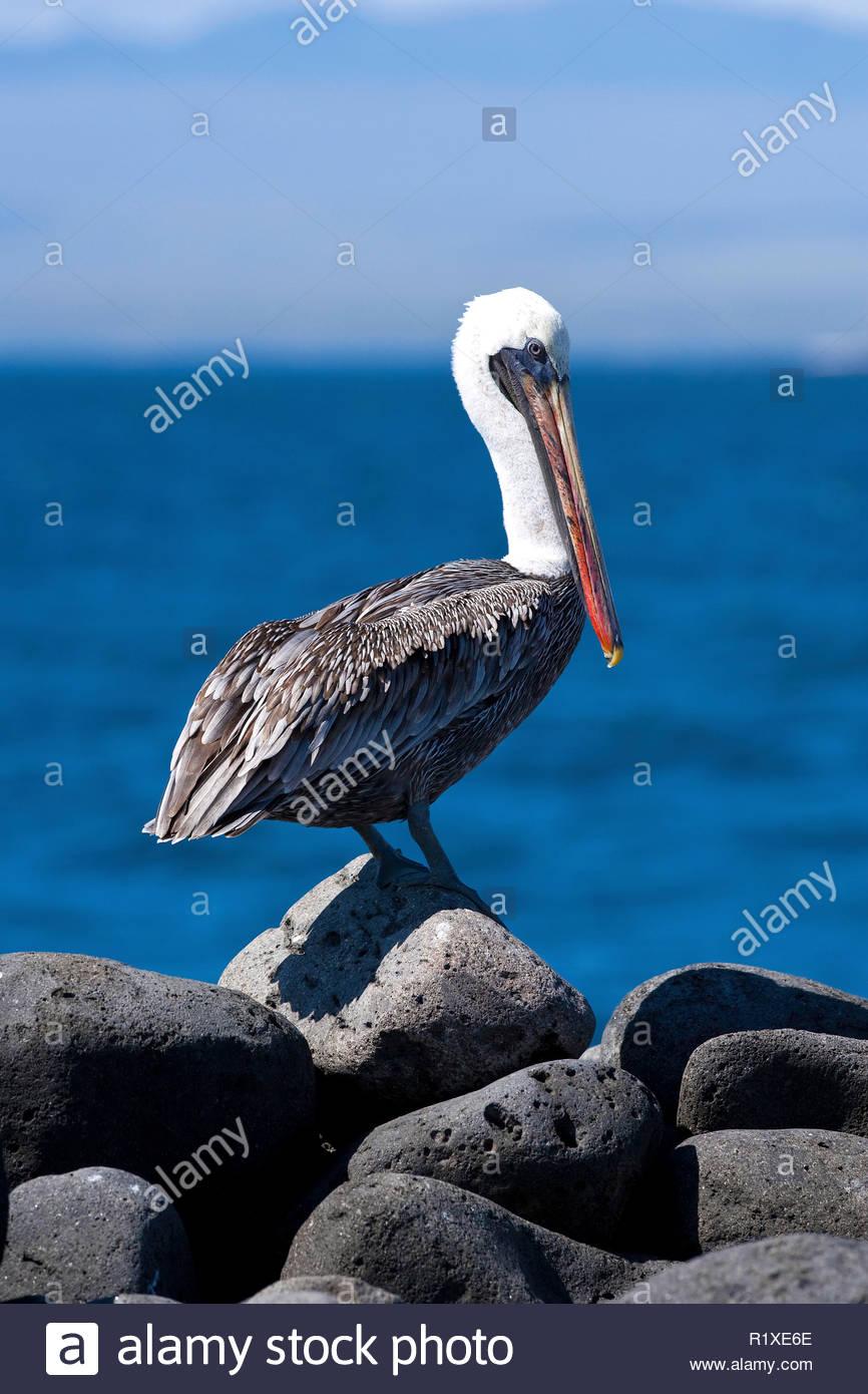 Brown Pelican (Pelicanus occidentalis), North Seymour Island, Galapagos Islands, UNESCO Natural World Heritage Site, Ecuador - Stock Image