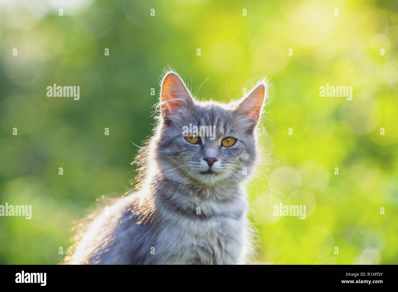 Siberian cat sitting in the garden in summer - Stock Image