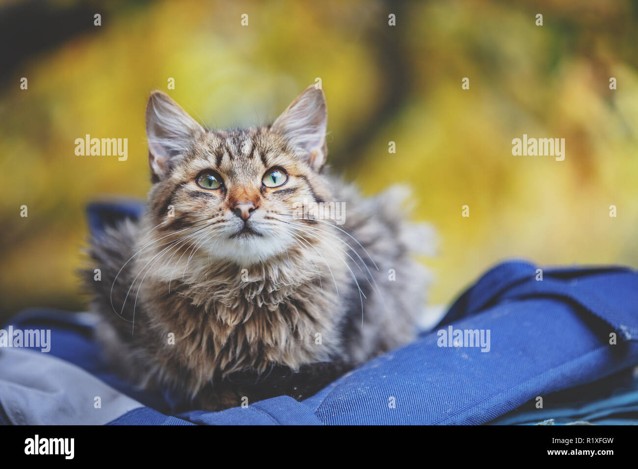 Siberian cat sitting on a bag in the garden - Stock Image