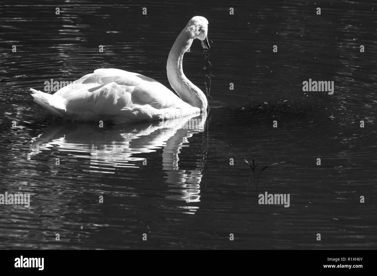 Reflection of this swan is magnifico. Stock Photo
