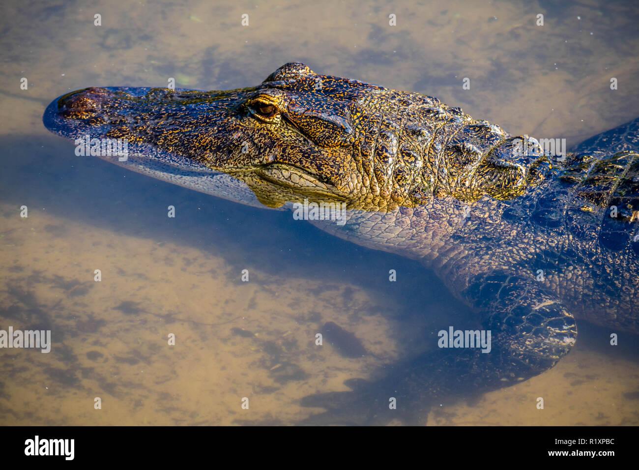 A large American Alligator in Orlando, Florida - Stock Image