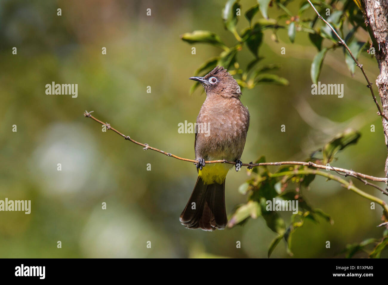Cape Bulbul  Pycnonotus capensis Betty's Bay, Western Cape District, South Africa 3 September 2018    Adult      Pycnonotidae Stock Photo