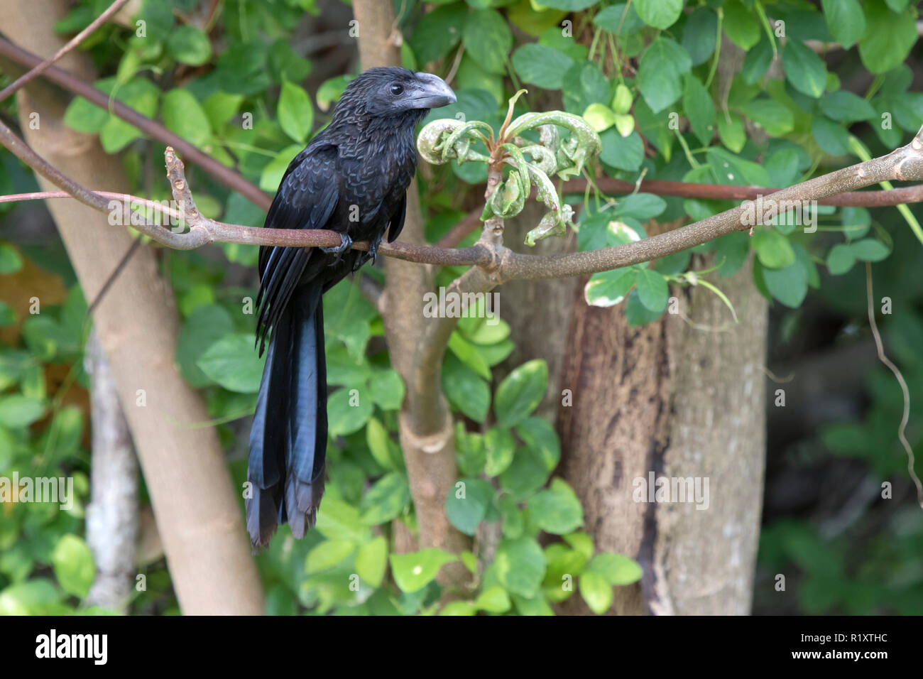 smooth-billed ani tree that sits on a tree branch at the edge of the forest - Stock Image