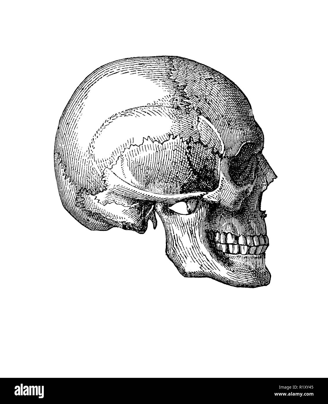 b707f77440357 Vintage illustration of anatomy, human skull lateral view - Stock Image