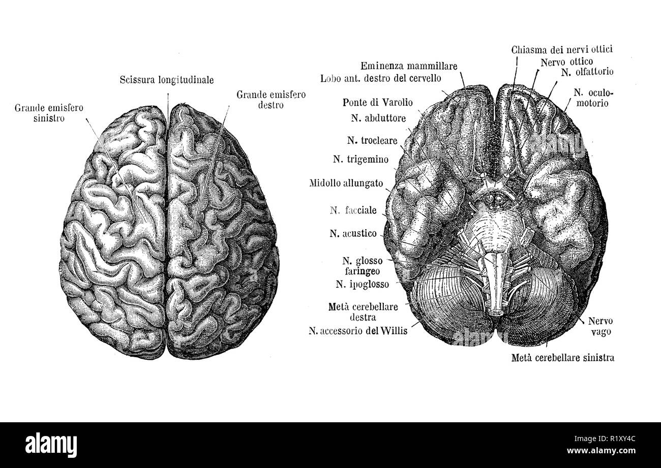 Vintage illustration of anatomy, brain upper and from below view, anatomical descriptions in italian - Stock Image