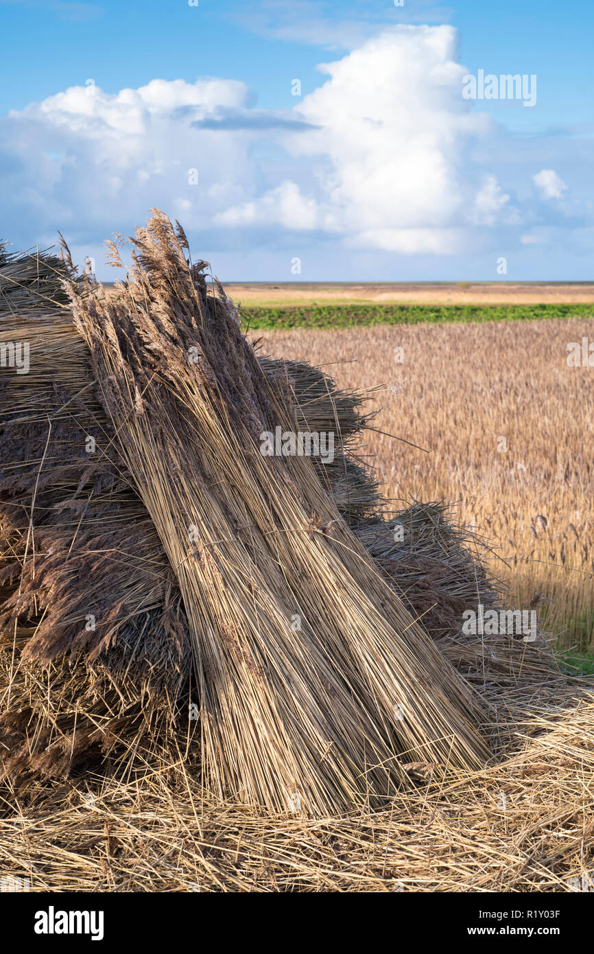 Stooks - stacks of cut reeds drying in the sun to be used for thatching of traditional thatched cottages in Norfolk, UK - Stock Image