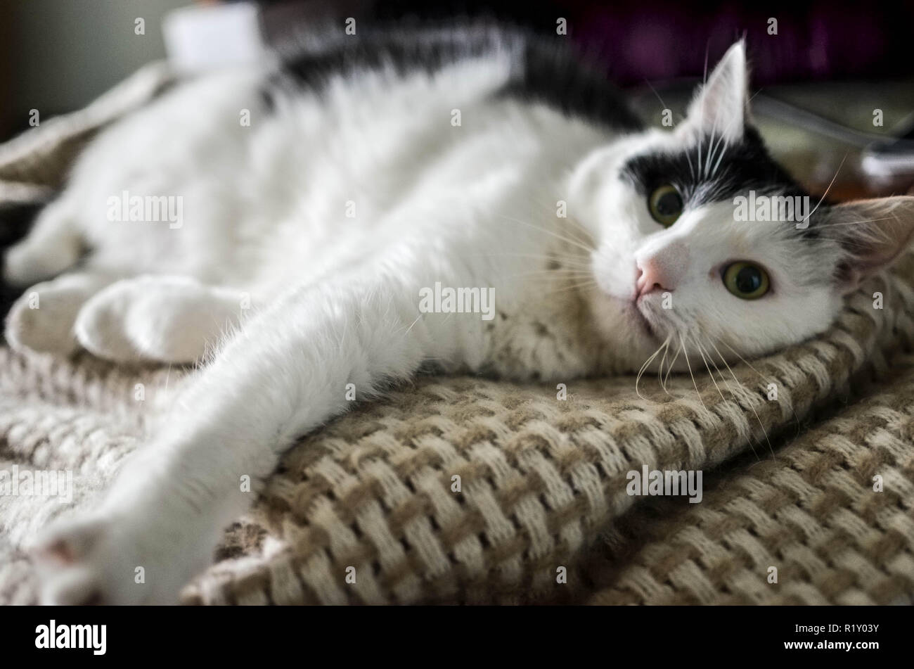 Cute black and white cat, indoor photo - Stock Image