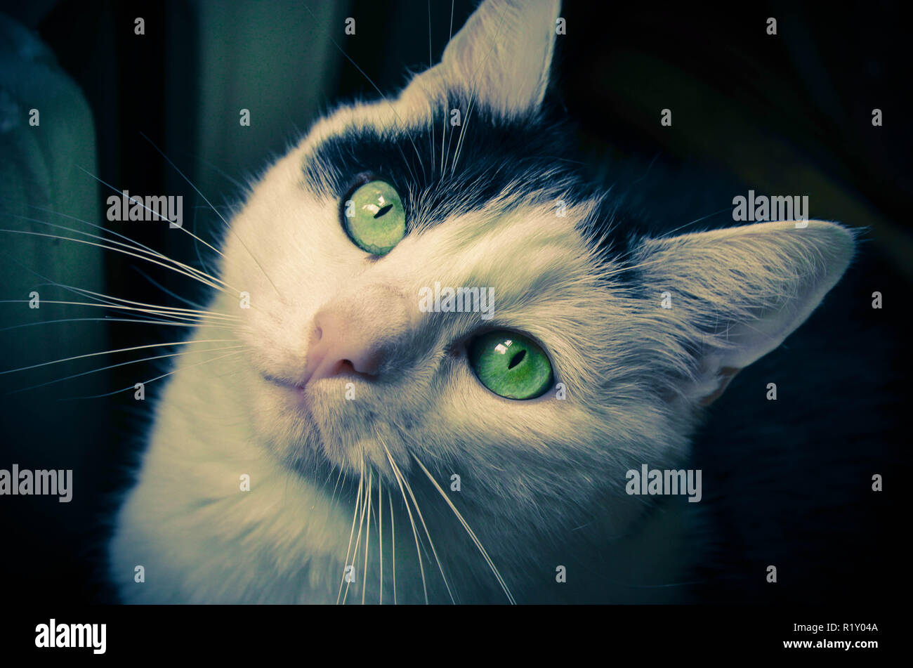 Black and white cat focus on eyes - Stock Image