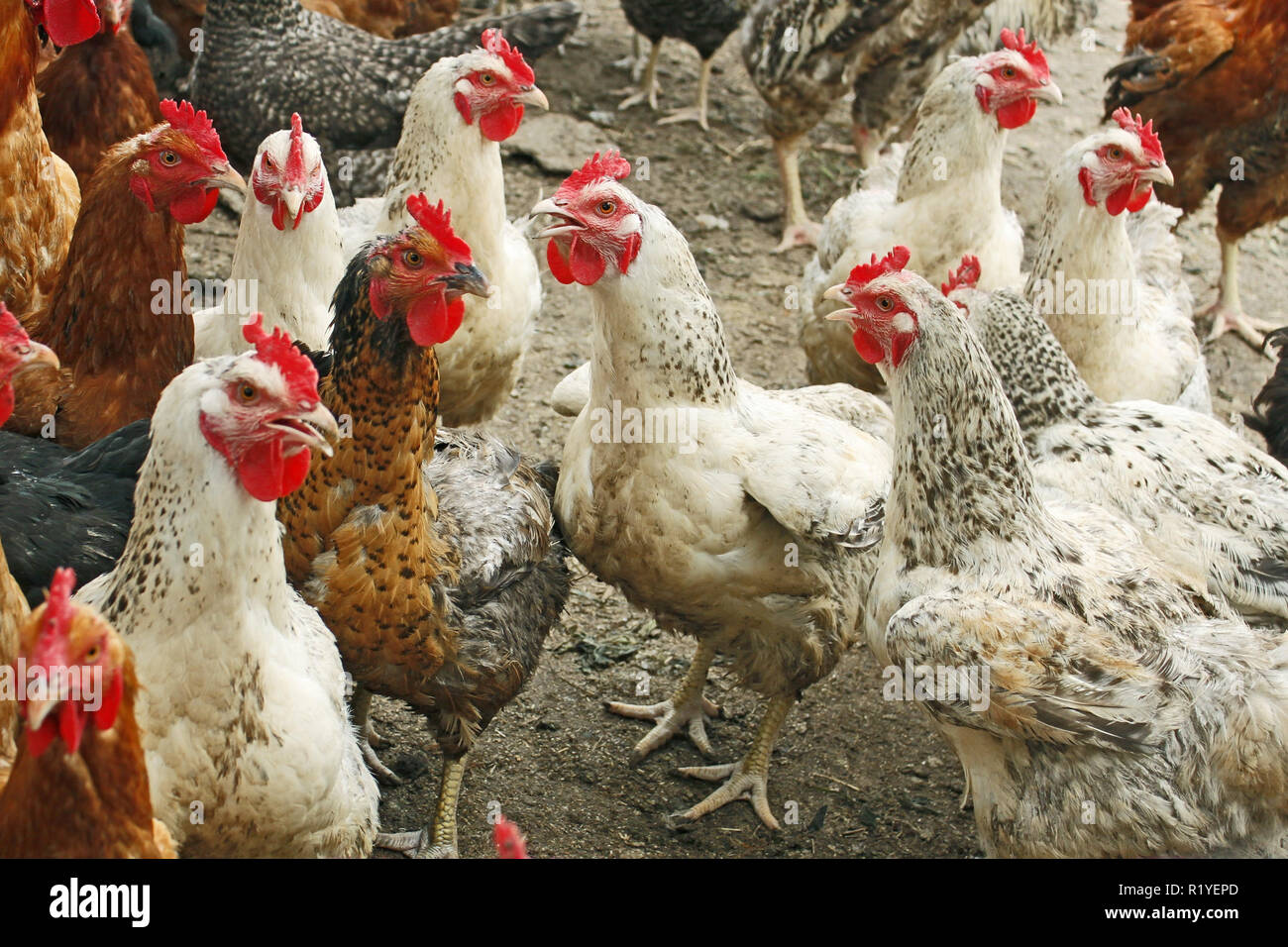 Group of hens and roosters on the poultry yard - Stock Image
