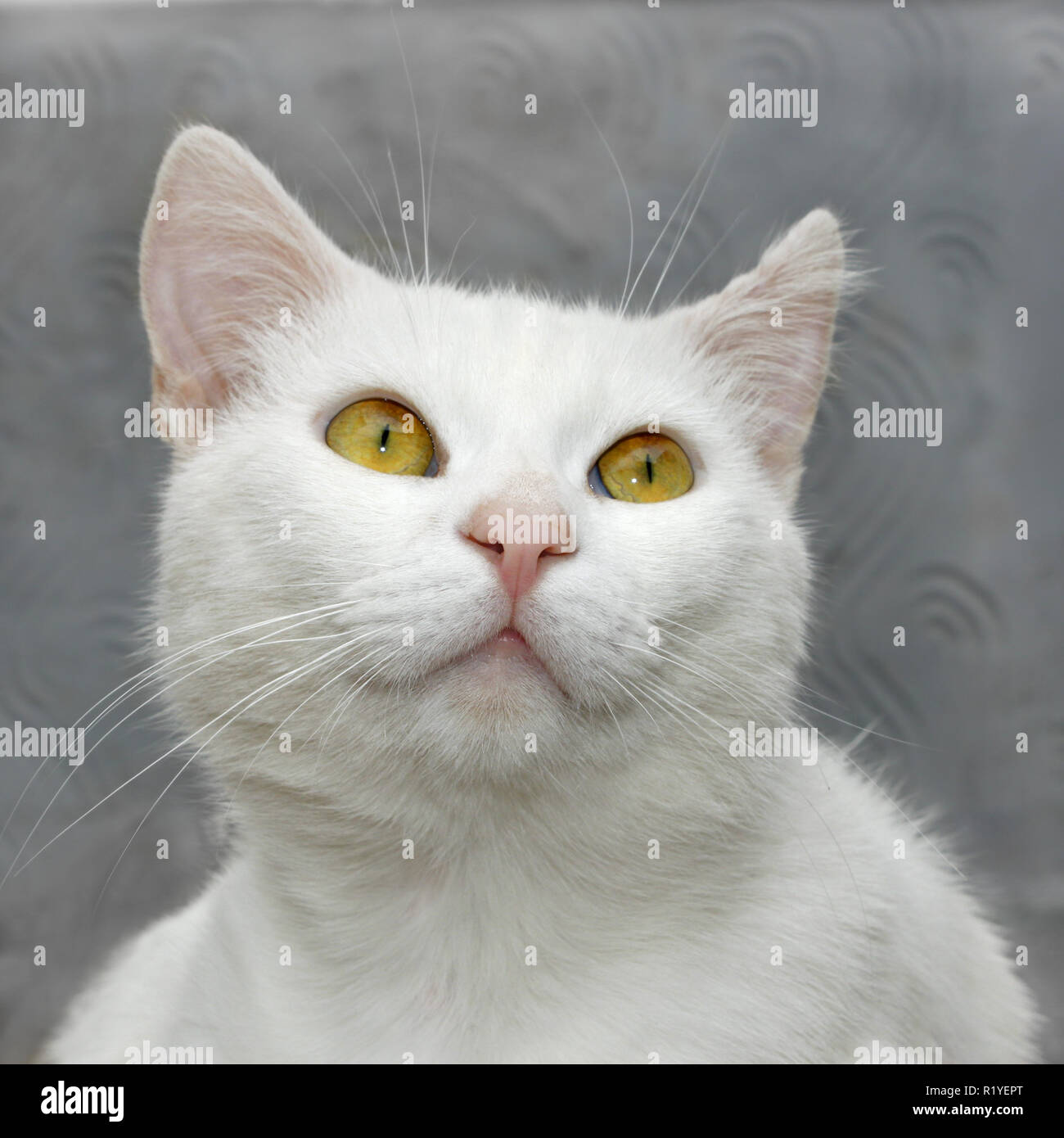 Portrait of a white cute domestic cat close up on a background of gray wall - Stock Image