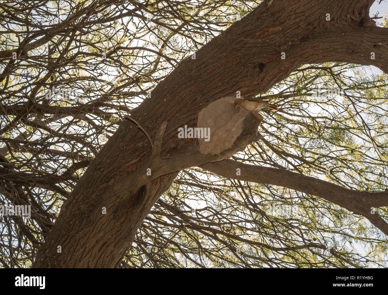 Rufous hornero at its nest - Stock Image