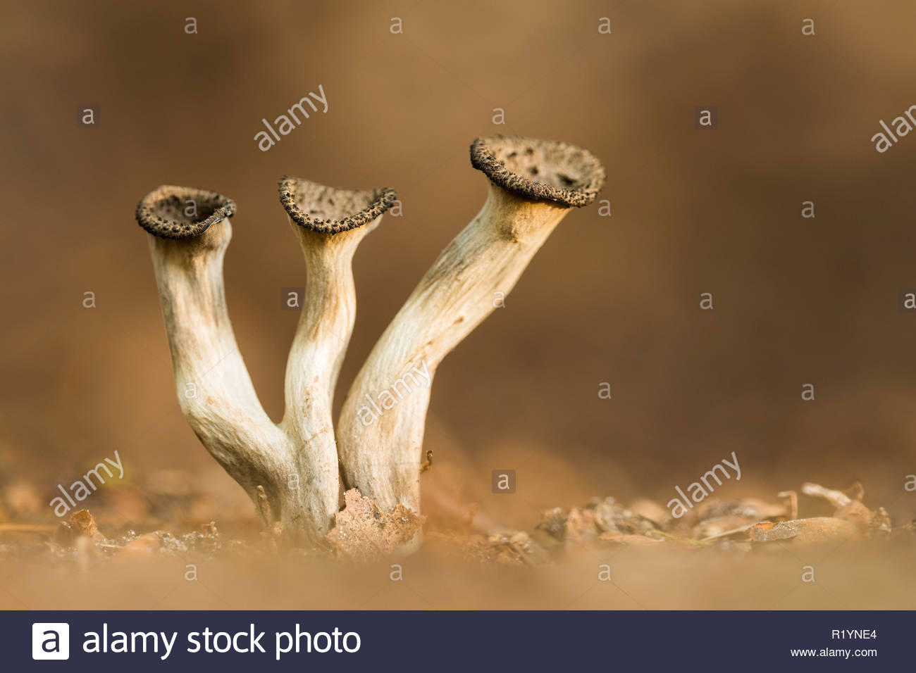 Horn of Plenty (Craterellus cornucopioides), New Forest National Park, Hampshire, England - Stock Image