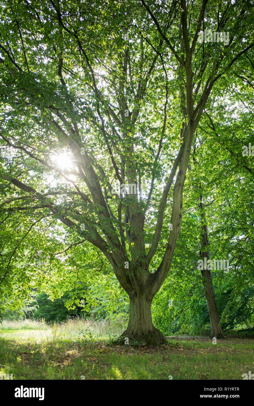 Common Hornbeam tree Carpinus Betulus Fastigiata at Royal Botanic Gardens at Kew, England, UK - Stock Image