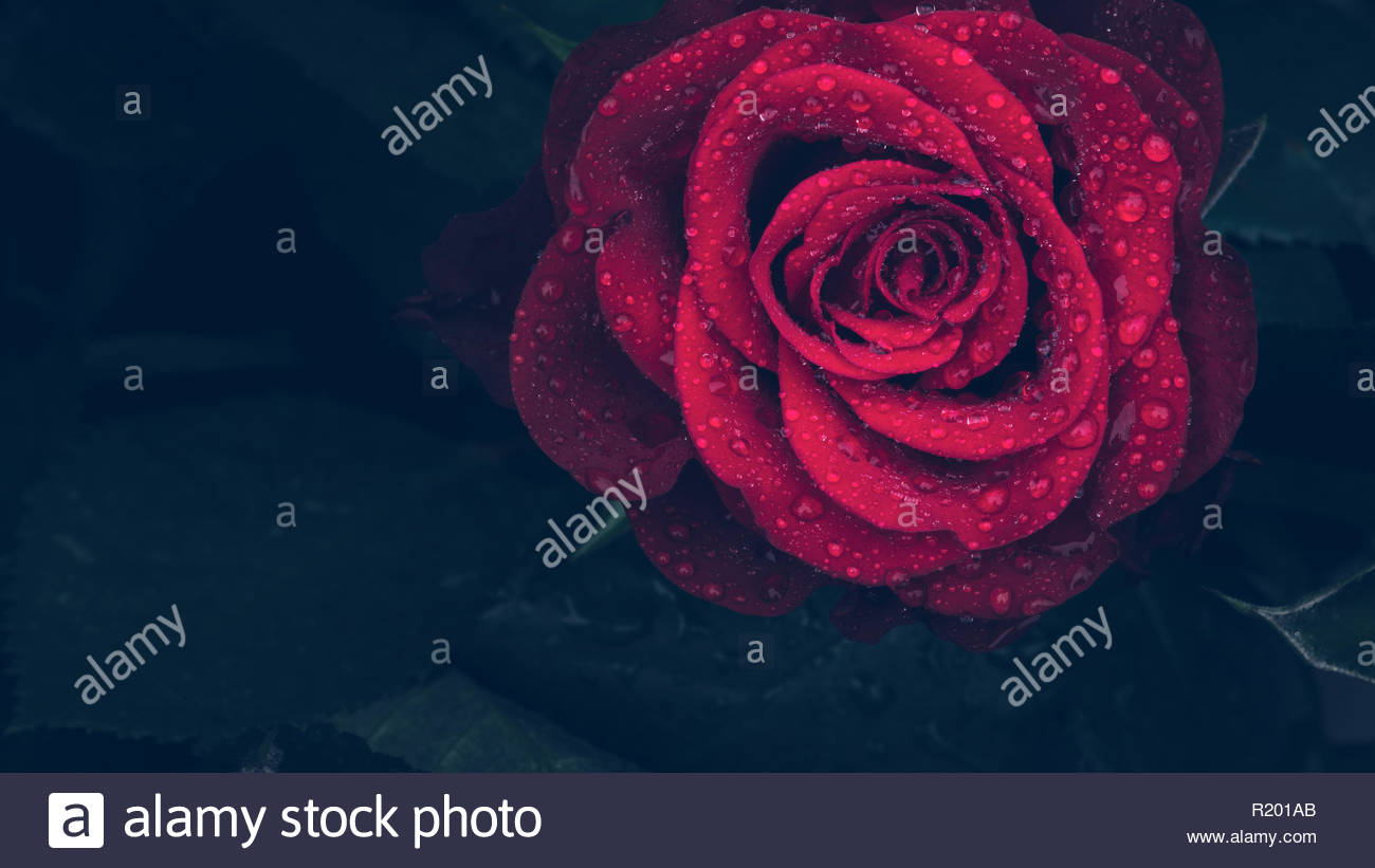 Everyone's favorite flower, the red rose, has different meanings depending on the hue. - Stock Image