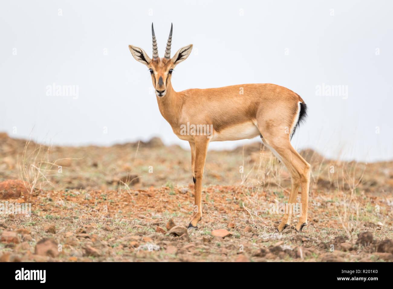 Chinkara Deer Stock Photos & Chinkara Deer Stock Images - Alamy
