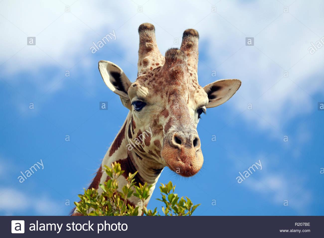 Giraffe (Giraffa camelopardalis), Porträt, Mweiga Region, Kenia, Afrika | Giraffe (Giraffa camelopardalis), portrait, Mweiga area, Kenya, Africa - Stock Image