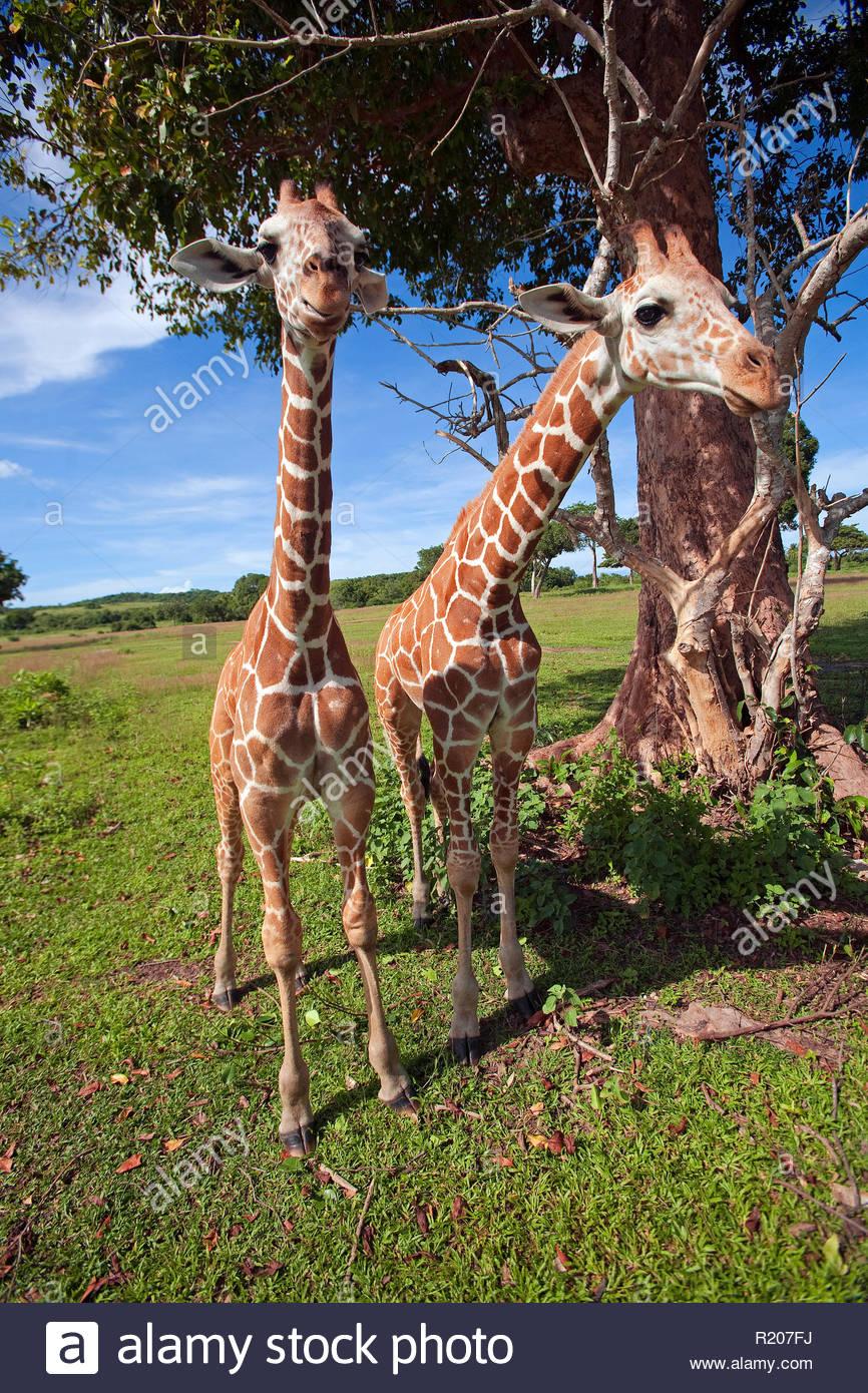 Two Giraffes (Giraffa camelopardalis) at Amboseli Nationalpark, Kenya, Africa - Stock Image