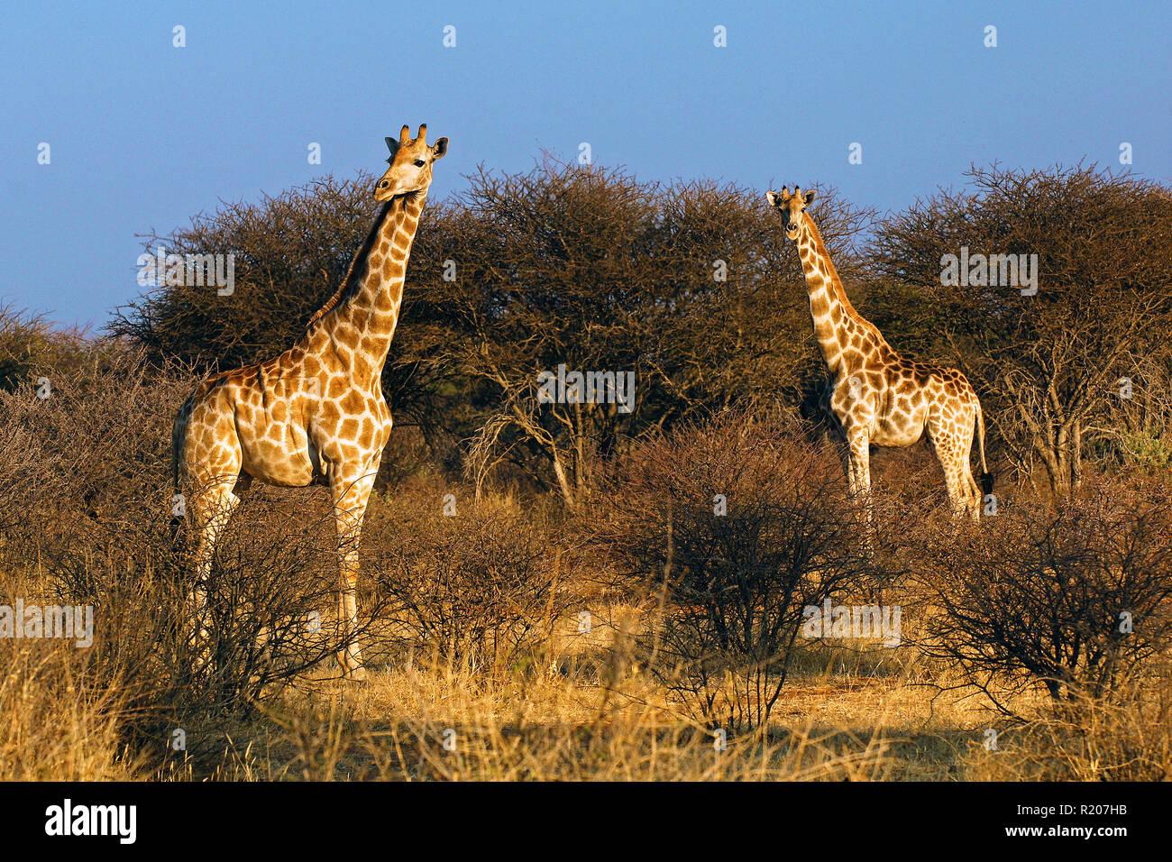 Two Angolan giraffes or Namibian giraffes (Giraffa camelopardalis angolensis) at savanna, Etosha Nationalpark, Namibia, Africa - Stock Image