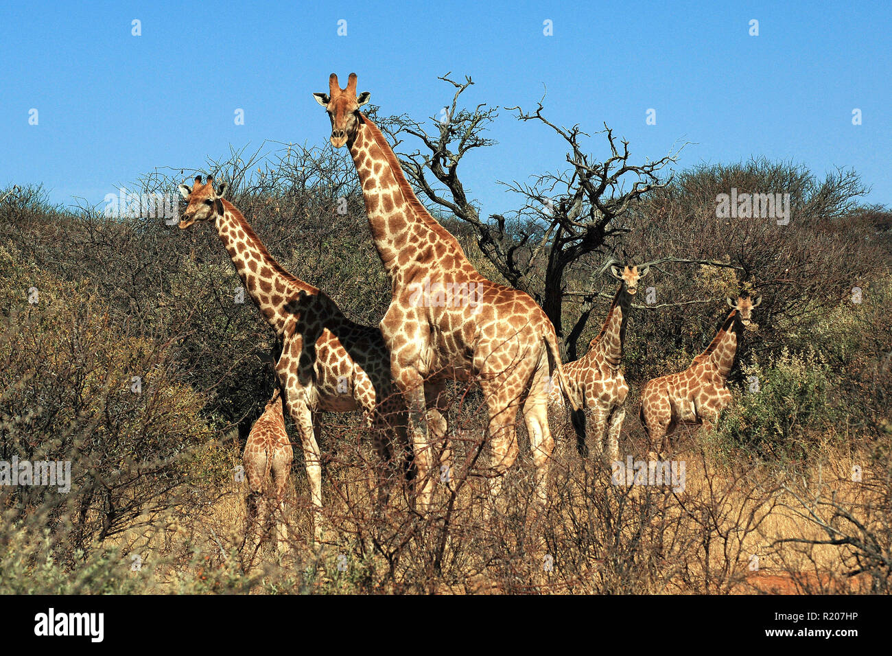 A group Angolan giraffes or Namibian giraffes (Giraffa camelopardalis angolensis) with calf at savanna, Etosha Nationalpark, Namibia, Africa - Stock Image