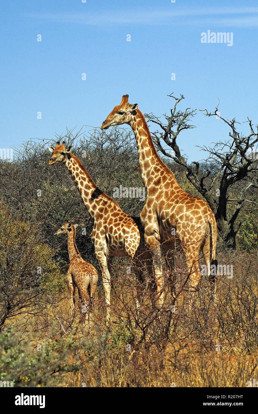 Two Angolan giraffes or Namibian giraffes (Giraffa camelopardalis angolensis) with calf at savanna, Etosha Nationalpark, Namibia, Africa - Stock Image