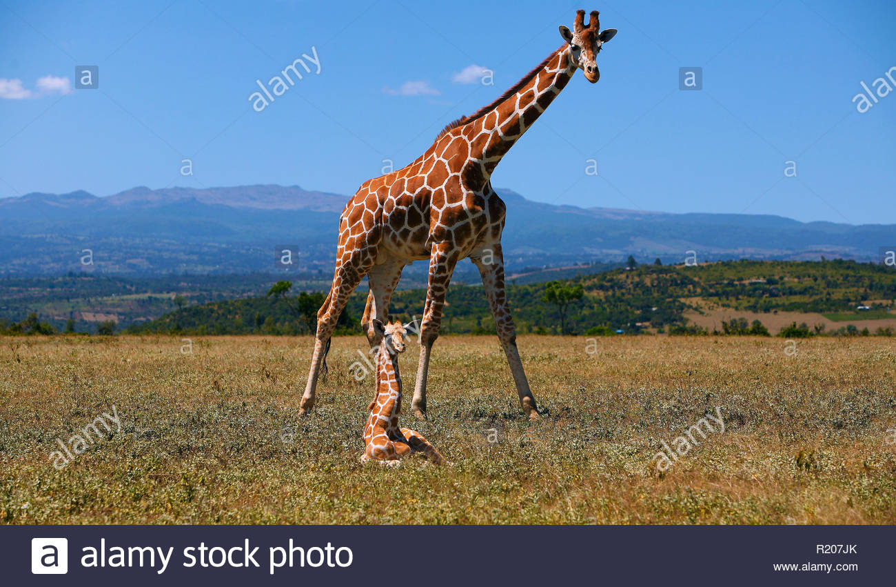 Giraffe (Giraffa camelopardalis) mit Jungtier, Mweiga Region, Kenia, Afrika | Giraffe (Giraffa camelopardalis) with calf, Mweiga area, Kenya, Africa - Stock Image