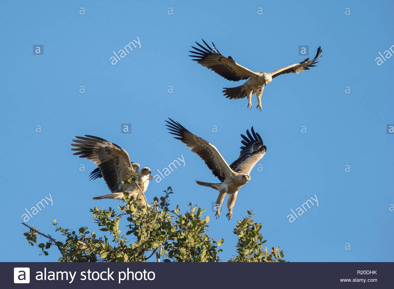 Tawny Eagle (Aquila rapax), Savuti, Botswana, Africa - Stock Image