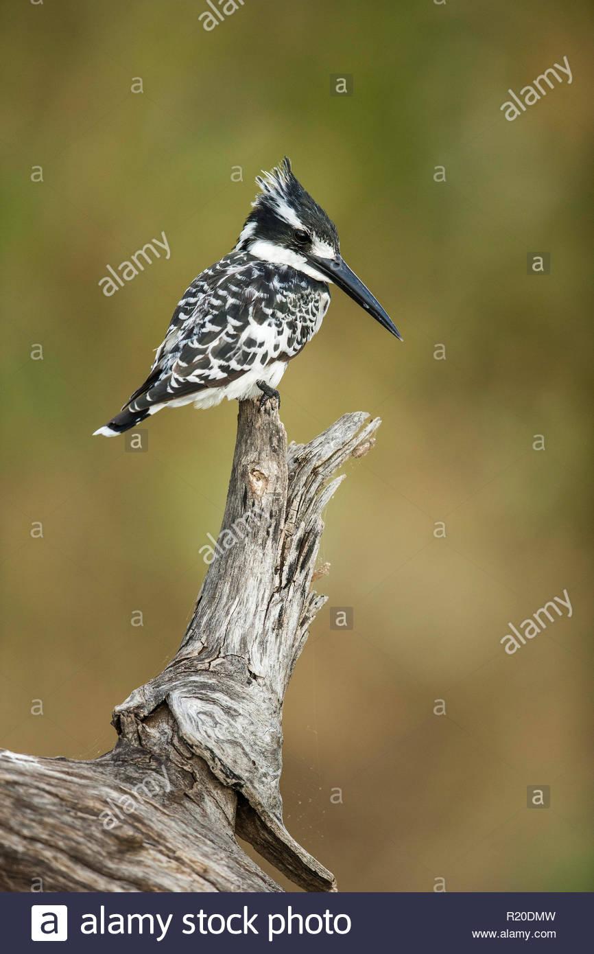 Pied Kingfisher (Ceryle rudis), Chobe River, Botswana - Stock Image