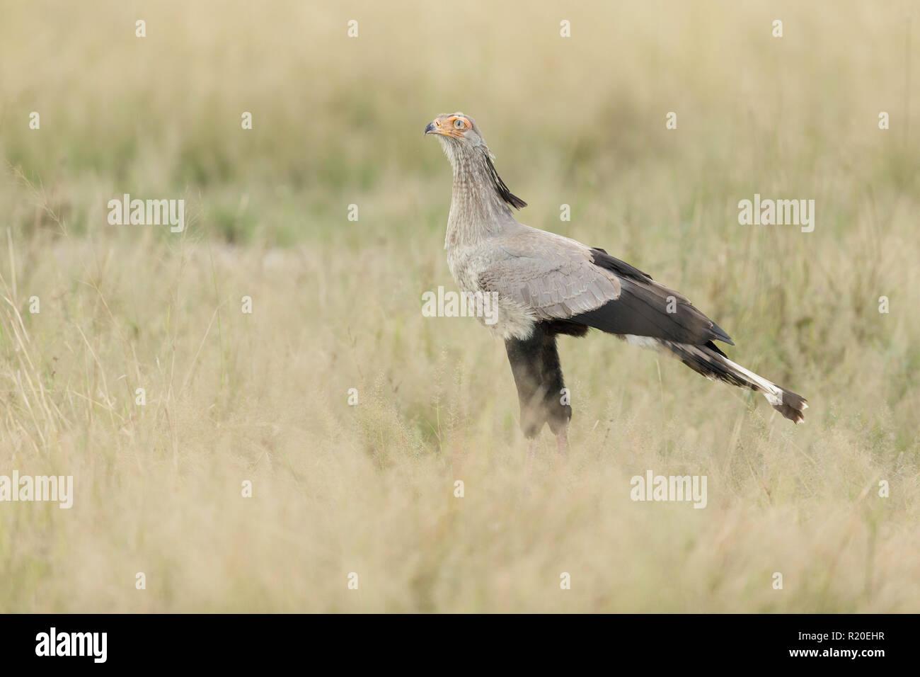 Secretary Bird (Sagittarius serpentarius), Savuti, Botswana, Africa - Stock Image