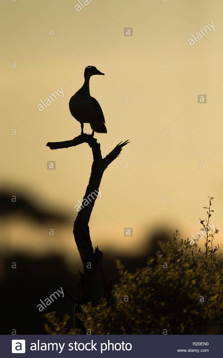 Comb Duck (Sarkidiornis melanotos), Savuti, Botswana, Africa - Stock Image