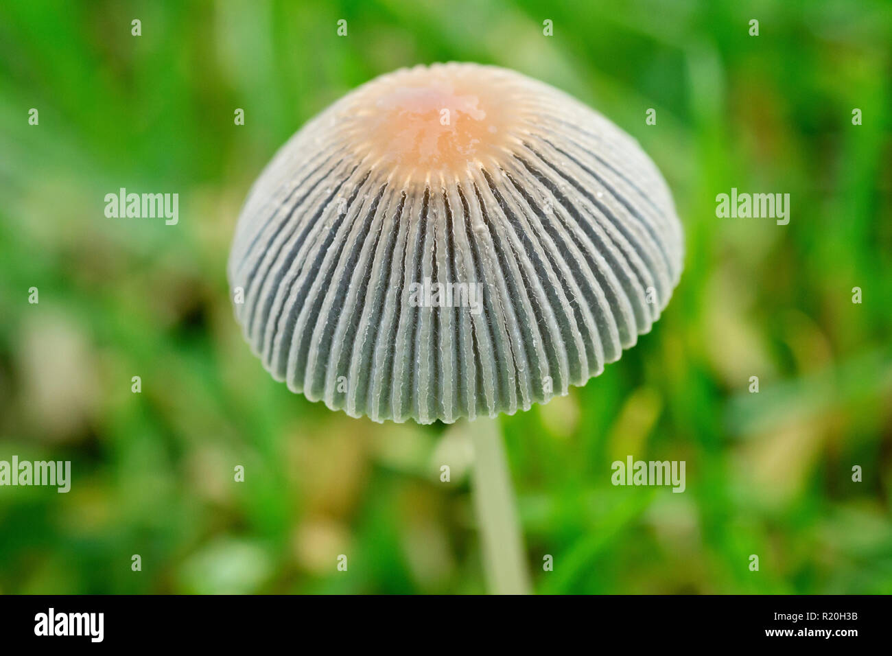 Little Japanese Umbrella Toad-stool (coprinus plicatilis), also called the Pleated Inkcap (parasola plicatilis), close up of the small fruiting body. - Stock Image