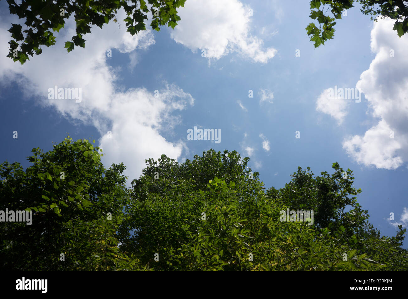 Bright Blue Sky With White Fluffy Clouds Through Tall Green Trees is an ideal photograph for use as a banner image with plenty of room for added text. - Stock Image