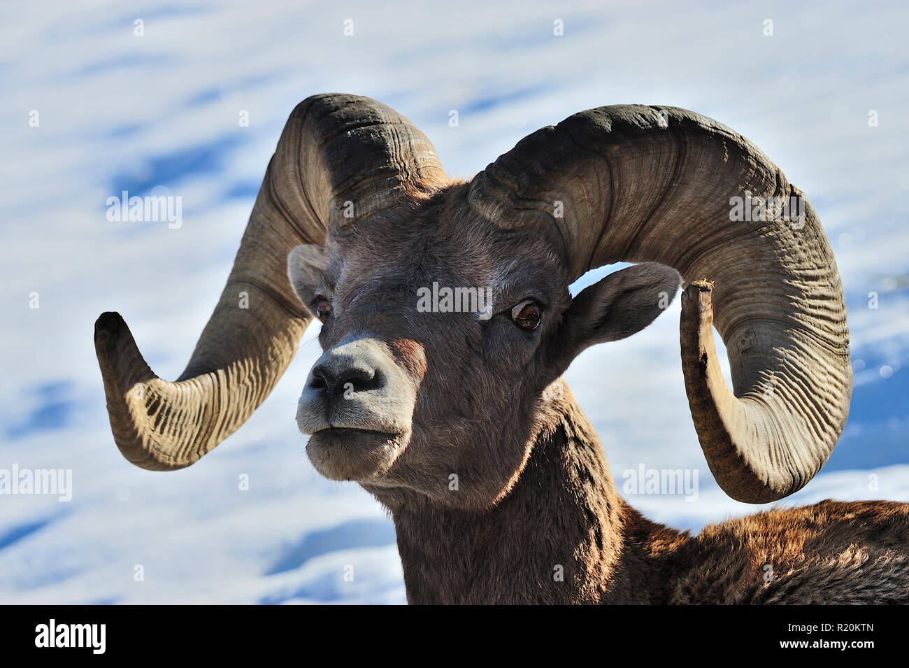 A portrait of a male rocky mountain bighorn sheep 'Ovis canadensis', in rural Alberta Canada - Stock Image