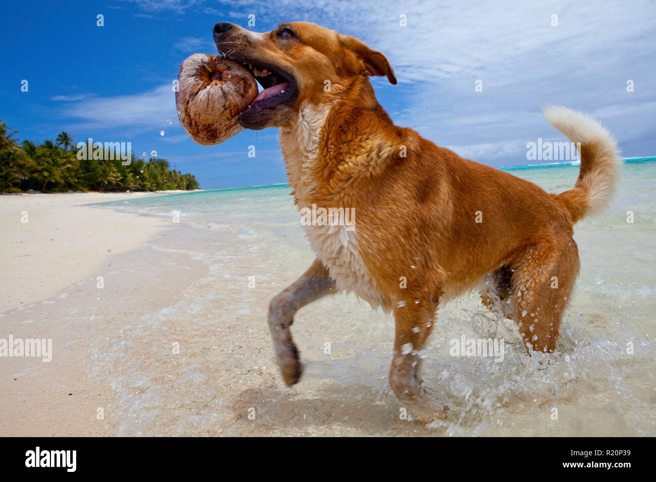 Dog playing fetch with a coconut on Rarotonga, Cook Islands. - Stock Image