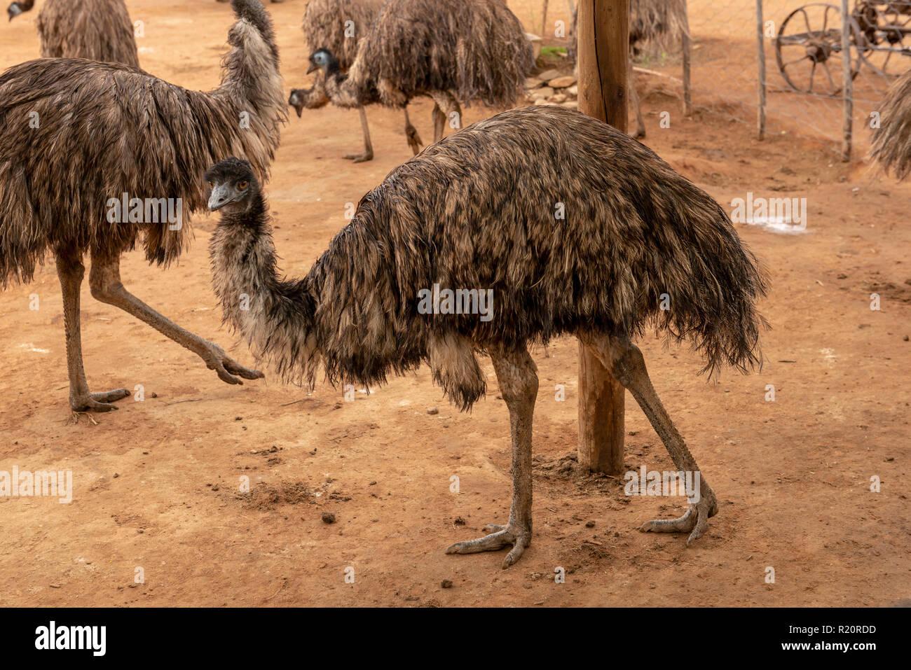 Safari Ostrich Farm, Oudtshoorm, Soith Africa - Stock Image