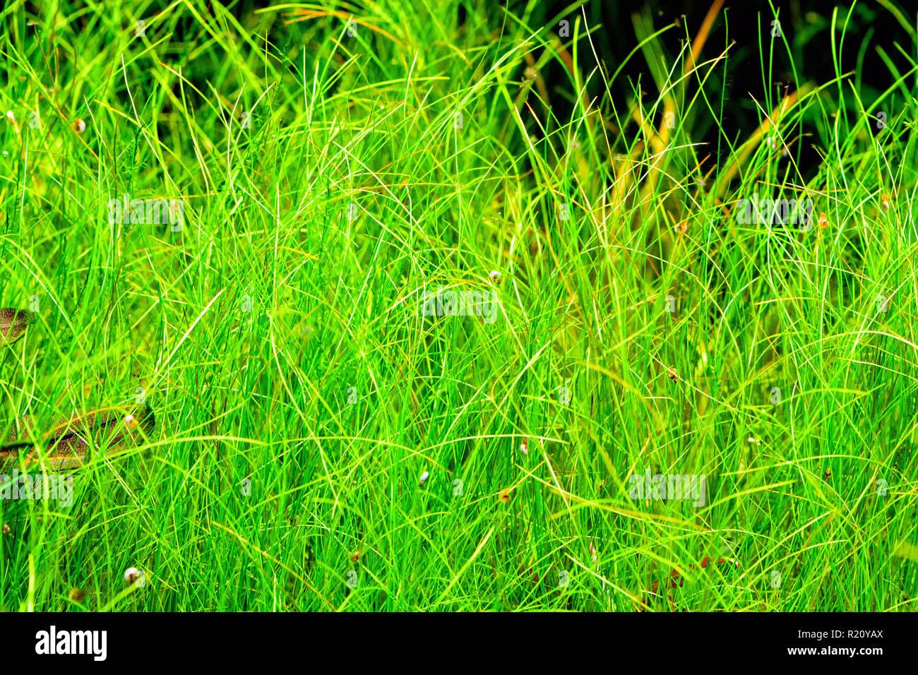 Aquarium plant Needle spikerush (Eleocharis acicularis) shot in aquarium. Stock Photo