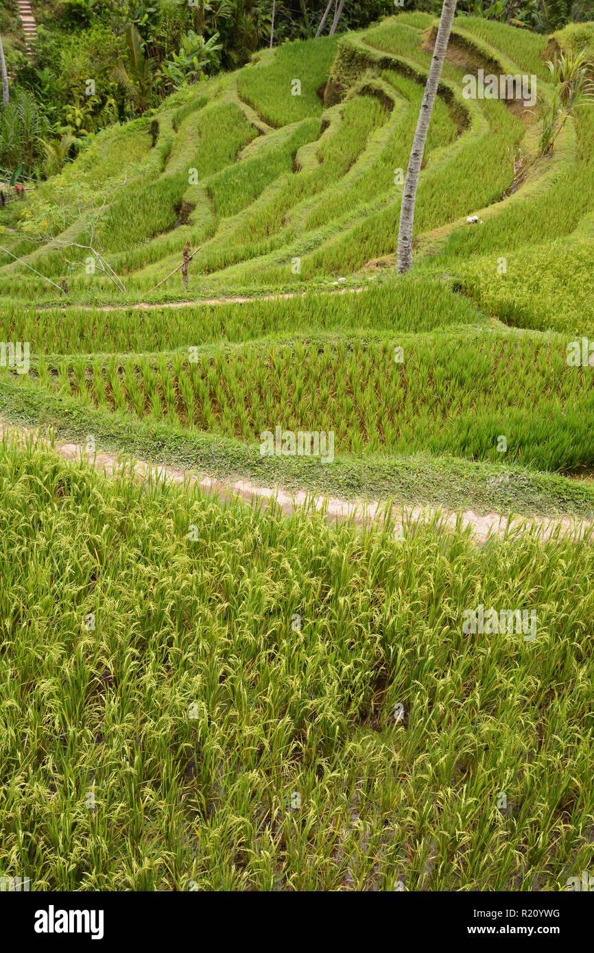 Terraced rice paddies. Tegallalang. Bali. Indonesia - Stock Image