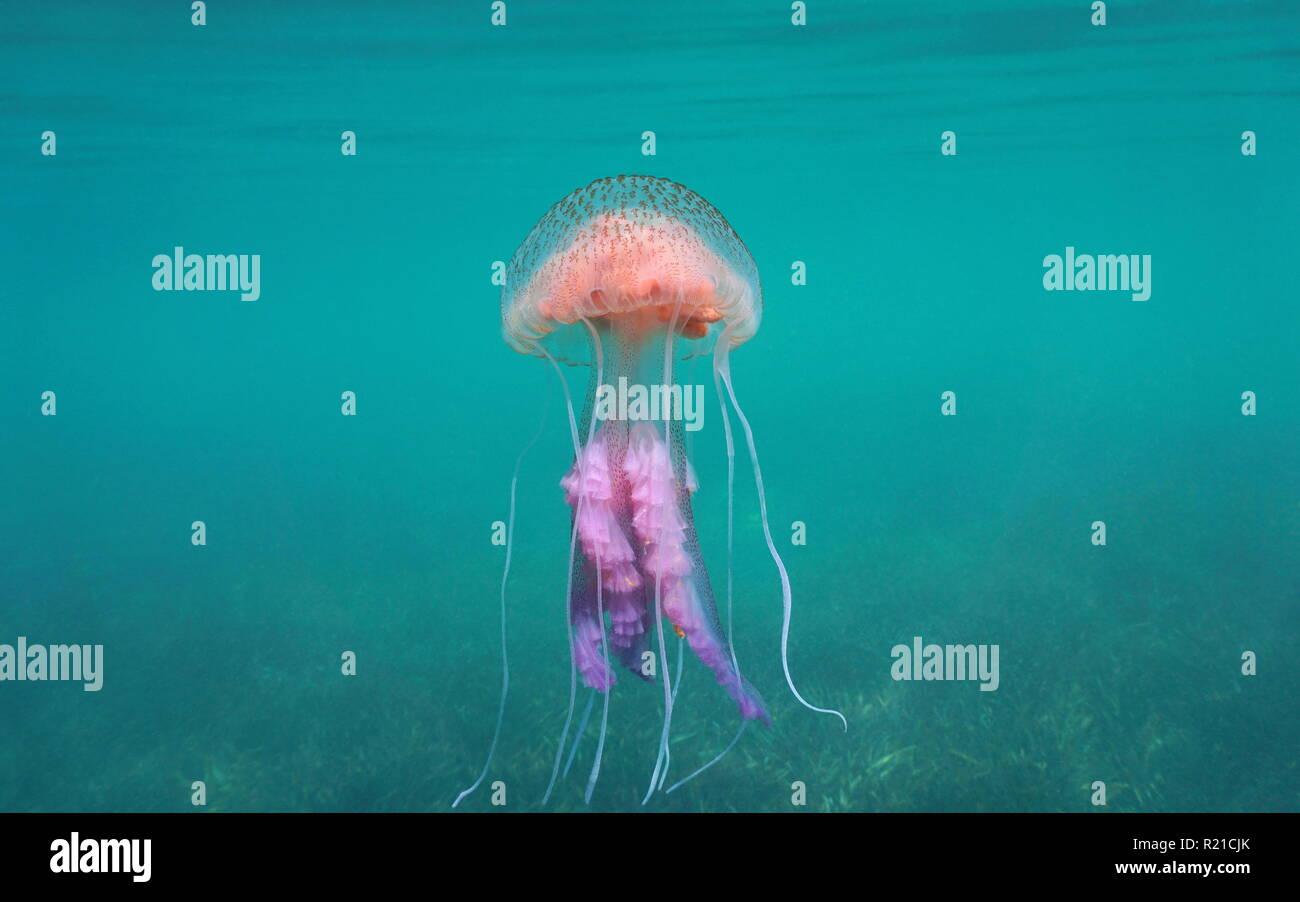 Mauve stinger jellyfish (Pelagia noctiluca), Mediterranean sea, Spain - Stock Image