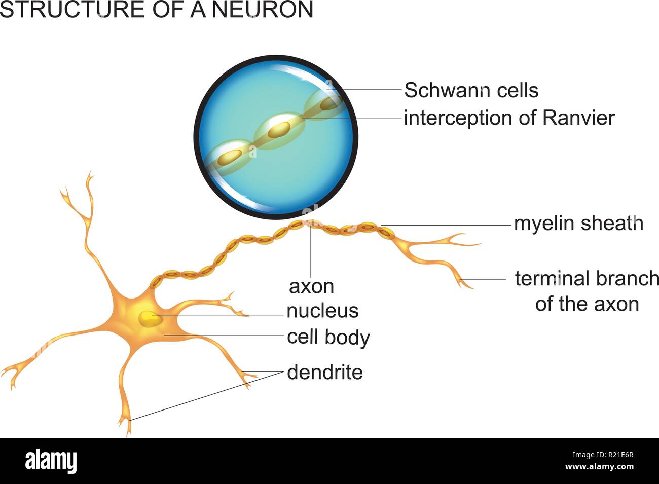vector illustration of nerve cell structure, neuron - Stock Image