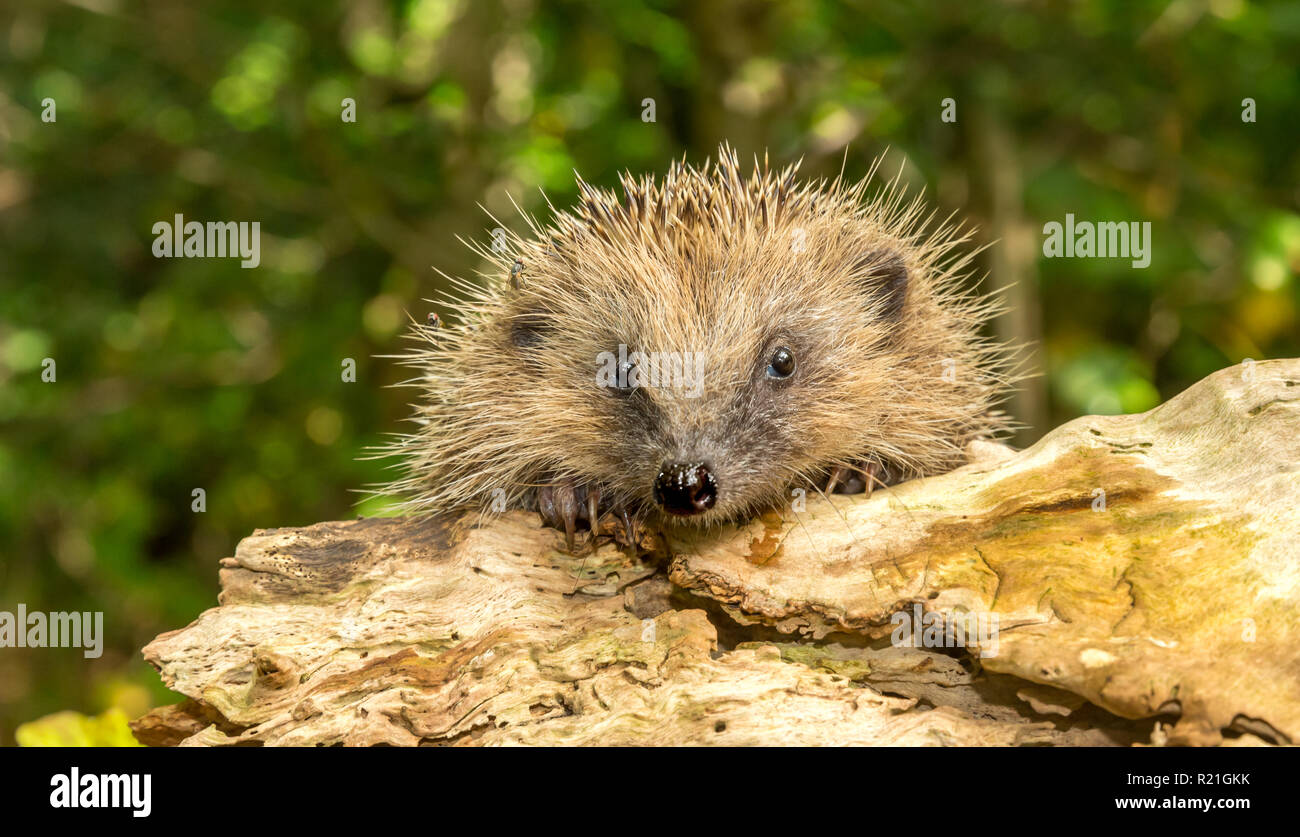 Hedgehog, wild, European hedgehog with face and paws on a log.  Facing forward. Blurred background. Scientific name: Erinaceus Europaeus. Horizontal - Stock Image