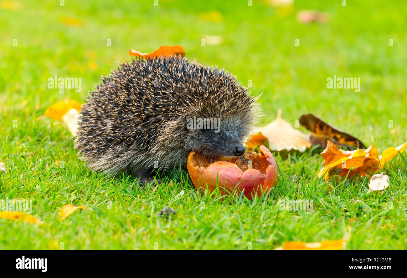 Hedgehog, wild, native, European hedgehog in natural garden habitat with fallen apples during Autumn or Fall. Facing right. Horizontal, Landscape. - Stock Image